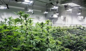Police face difficulties to complete investigation of Russian home-grown pot case